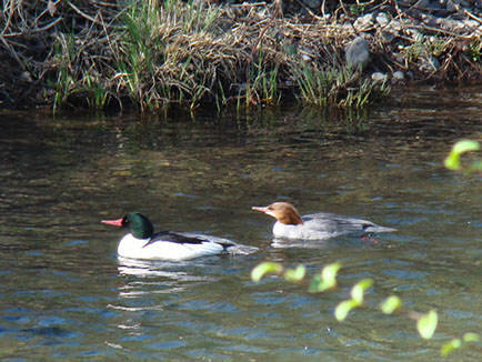 These ducks have not a care in the world as they gracefully guide across the water at the Chico Creek Nature Center.